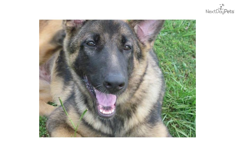 bay area german shepherd german shepherd for sale for 700 near ta bay area 1768