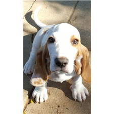 View full profile for Amanda's Akc Bassets