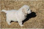 Picture of PURE WHITE English Golden Retreiver