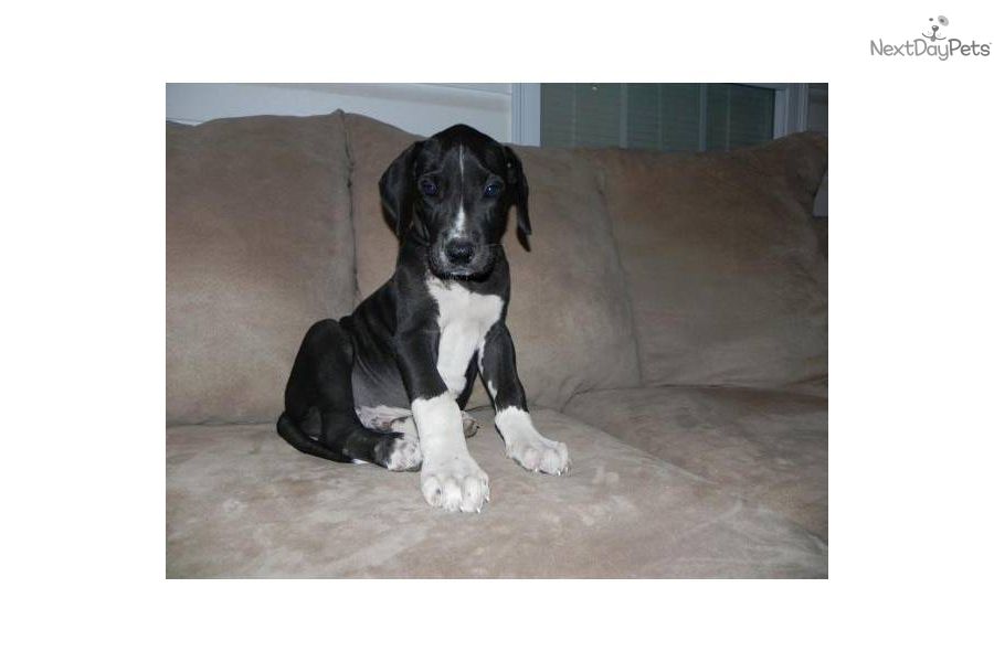 Meet JAYCEE a cute Great Dane puppy for sale for $600 ...