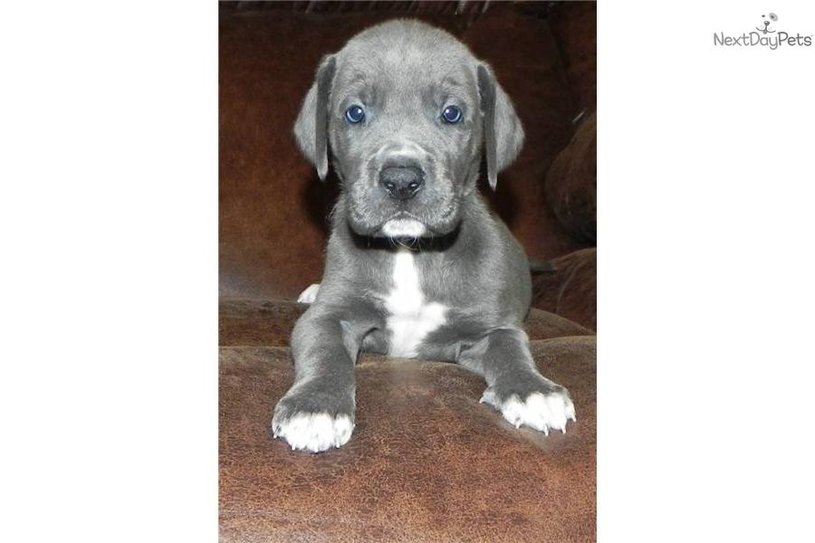 Meet Venus A Cute Great Dane Puppy For Sale For 1 500