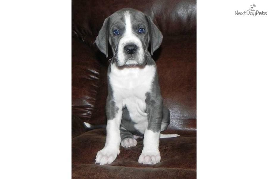 Great Dane puppy for sale near Atlanta, Georgia | f85904de ...