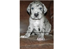 Picture of a Great Dane Puppy