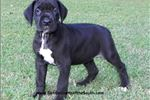 Picture of SALE Beautiful Black Female Ready to go Now