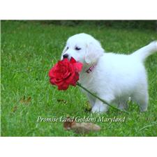 View full profile for Promiseland Goldens