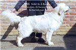 English Golden Retriever for sale