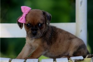 Puggles for sale