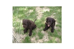 Picture of an American Water Spaniel Puppy