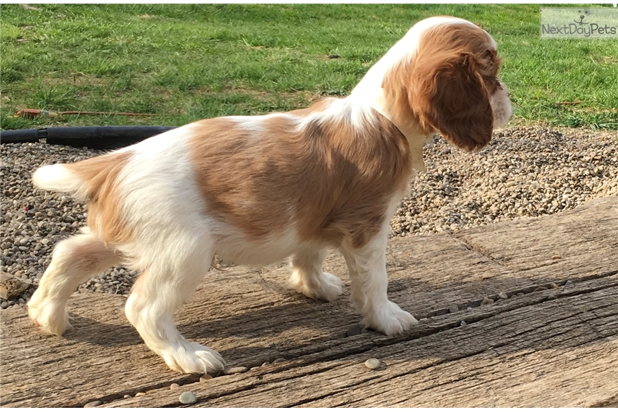 King charles spaniel adult for sale answer