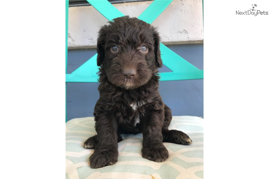 Labradoodle Puppy For Sale Near Los Angeles California