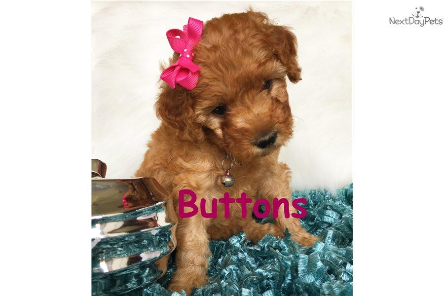 Bottons Goldendoodle Puppy For Sale Near Salt Lake City