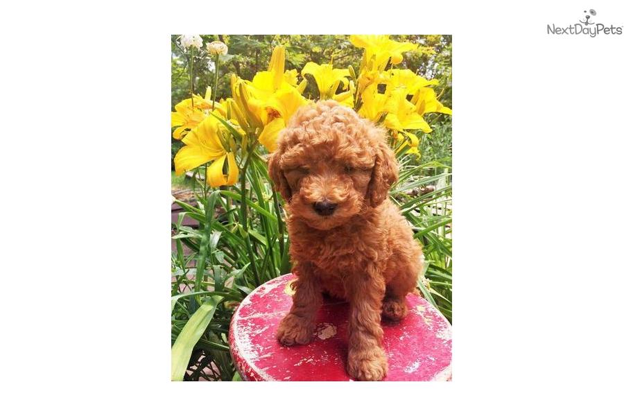 Jewels: Goldendoodle puppy for sale near Salt Lake City