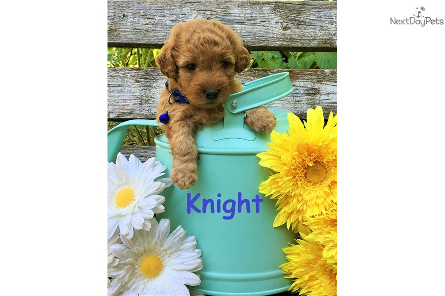 Knight Goldendoodle Puppy For Sale Near Salt Lake City