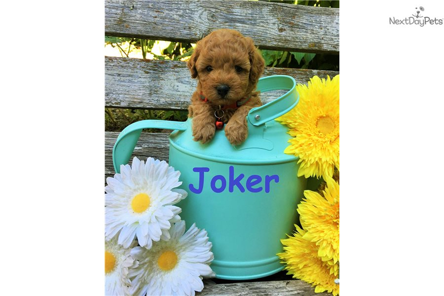 Goldendoodle puppy for sale near Salt Lake City, Utah