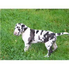 View full profile for Urbaniak Family Great Danes