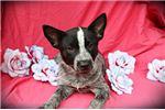 Australian Cattle Dog/Blue Heeler for sale