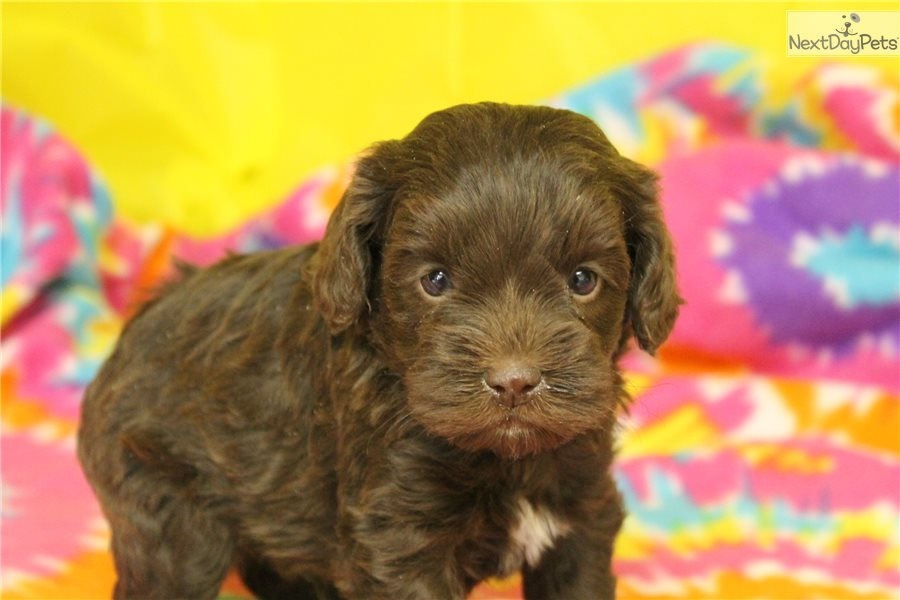 Cockapoo puppy for sale near In Sweden