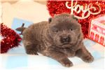 Picture of Chow blue male