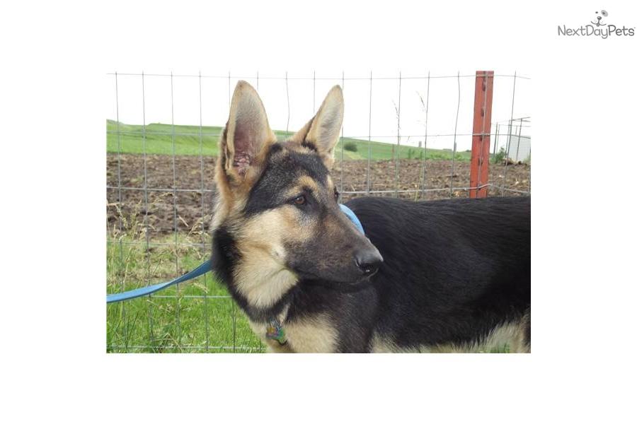 German Shepherd Wolf Hybrid Puppies