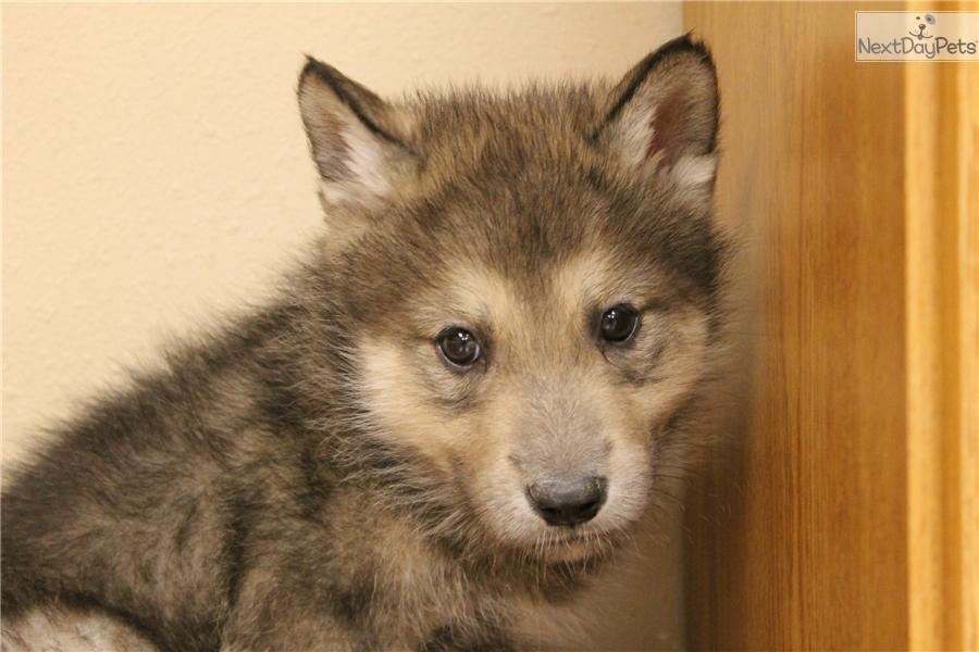 Wolf Dog M5 Wolf Hybrid Puppy For Sale Near Omaha Council Bluffs
