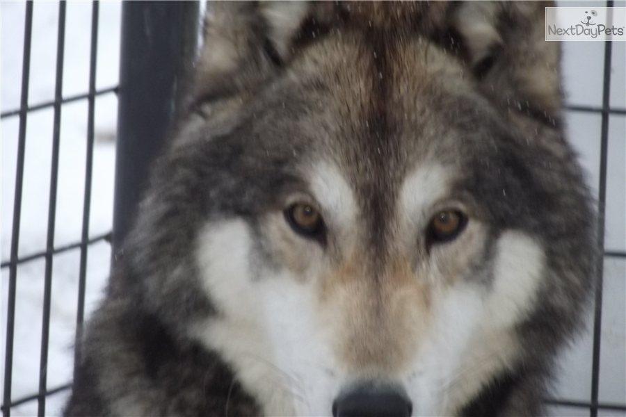 Timber Wolf German Shepherd Puppies