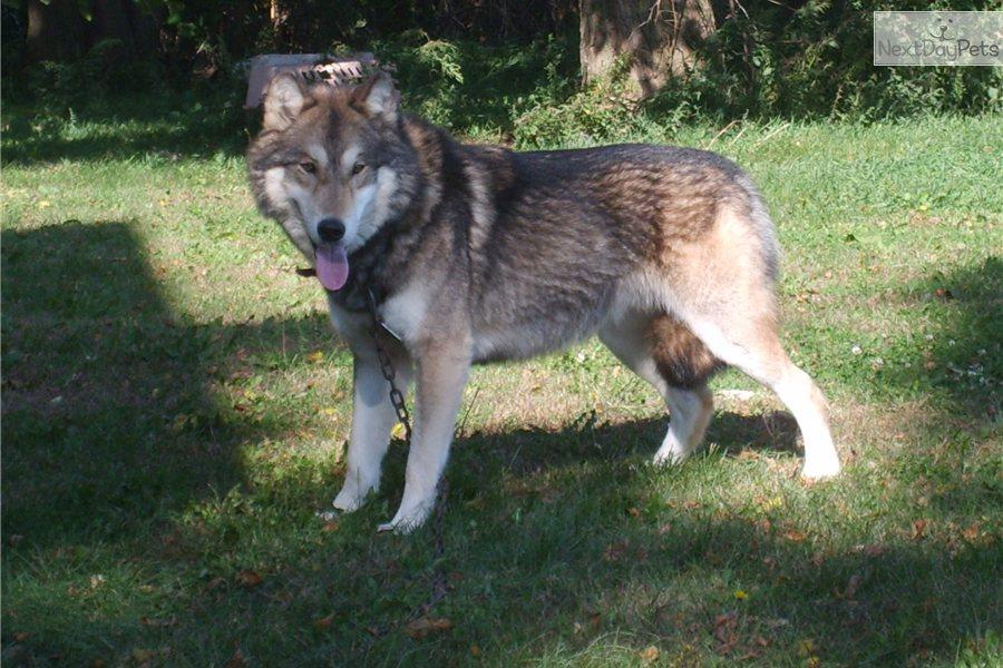Wolf Hybrid puppy for sale near Omaha / Council Bluffs ...