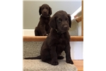 Picture of MALE BROWN PUPS AVAIL-$1500-ChathamHillDogs.com
