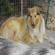 View full profile for Stirling Collies