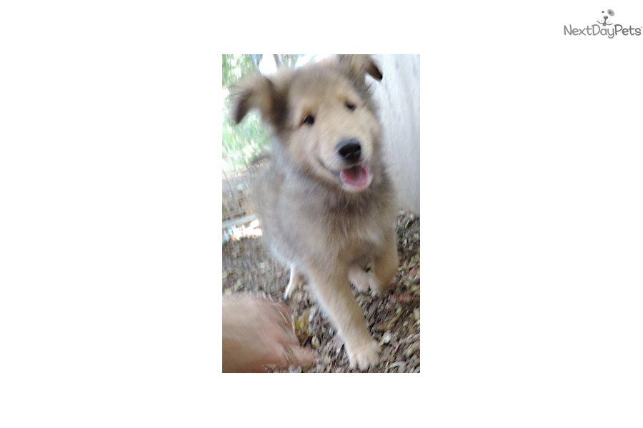 4sbmns Collie Puppy For Sale Near Minneapolis St Paul Minnesota
