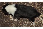 Picture of #2 tri male collie