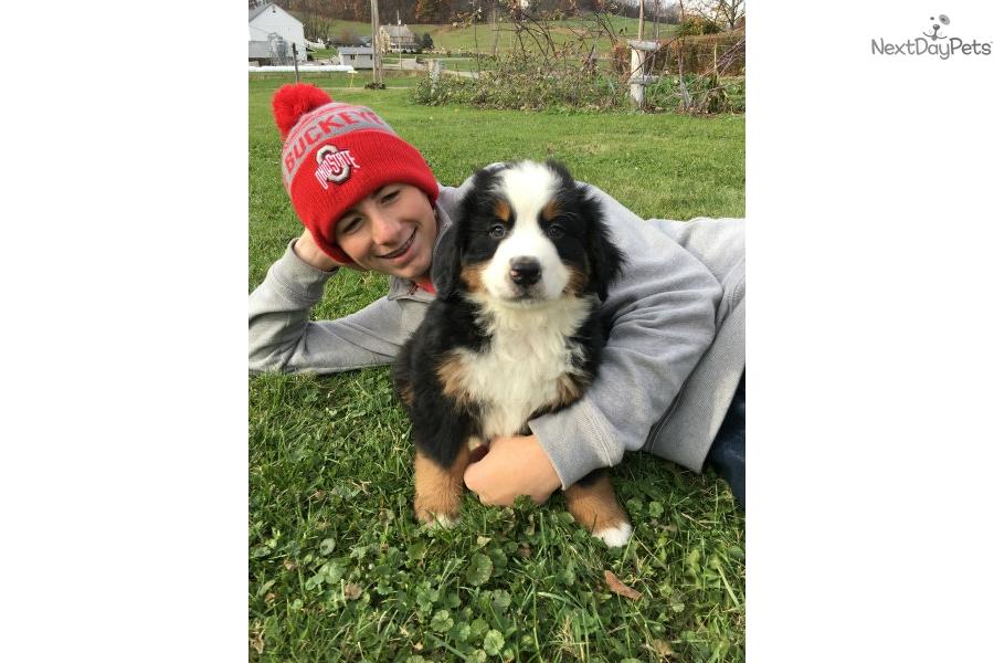 Linus: Bernese Mountain Dog puppy for sale near Ireland
