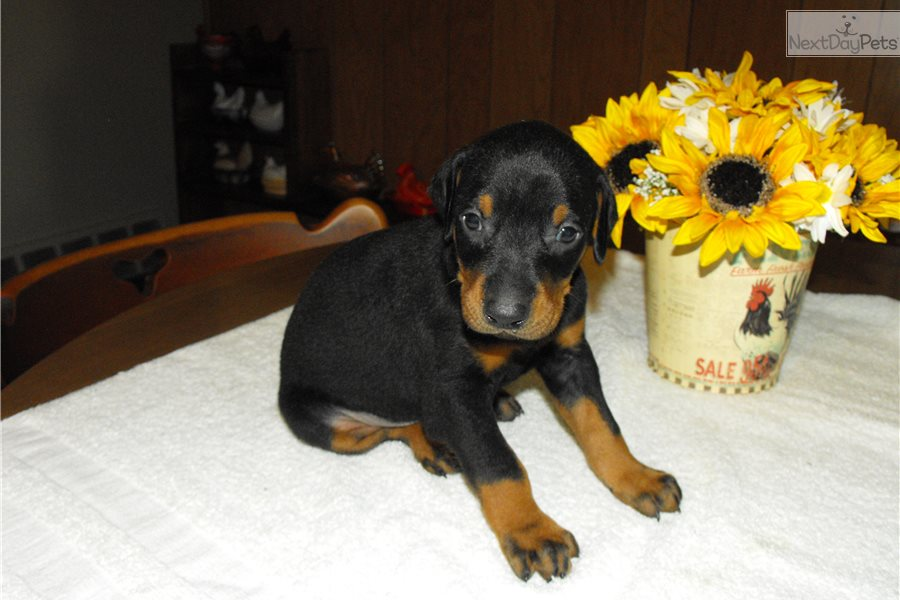 Doberman Pinscher Puppy For Sale Near Flint Michigan F52be63f 0d51