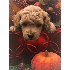 View full profile for Best Poodle Puppies