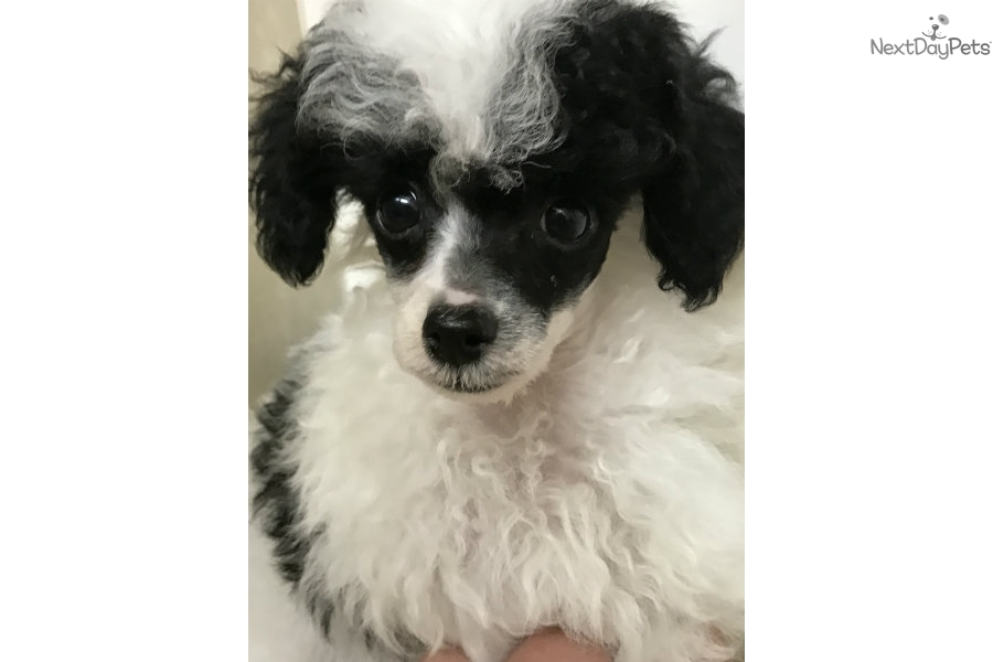 Domino Poodle Toy Puppy For Sale Near Tallahassee Florida