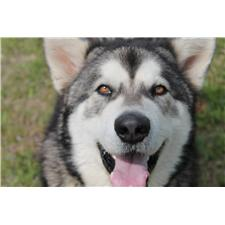 View full profile for Huff's Majestic Malamutes