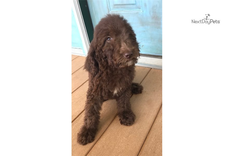 goldendoodle haircut my favorite dog doodle and bella adorable goldendoodle puppy for sale near kansas