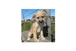 Picture of Bella-Adorable Boxerdoodle Female