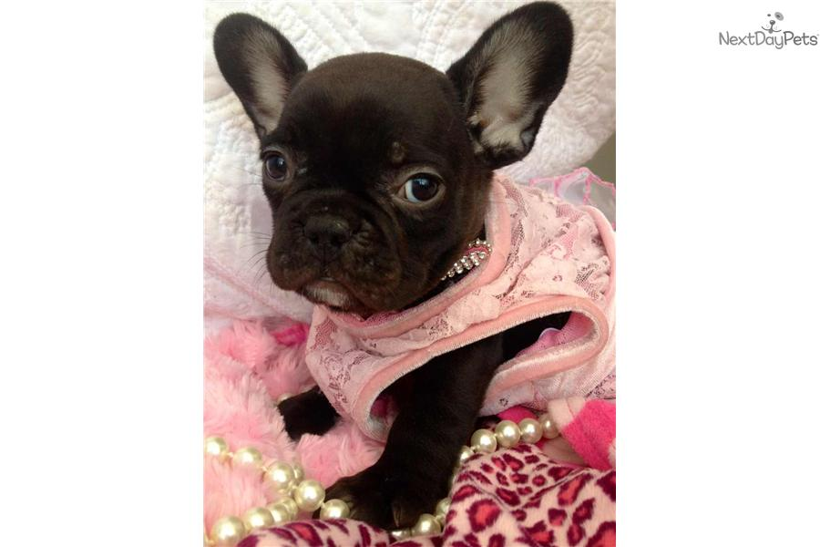 french bulldog phoenix french bulldog puppy for sale near phoenix arizona 6445