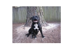 Featured Breeder of Staffordshire Bull Terriers with Puppies For Sale