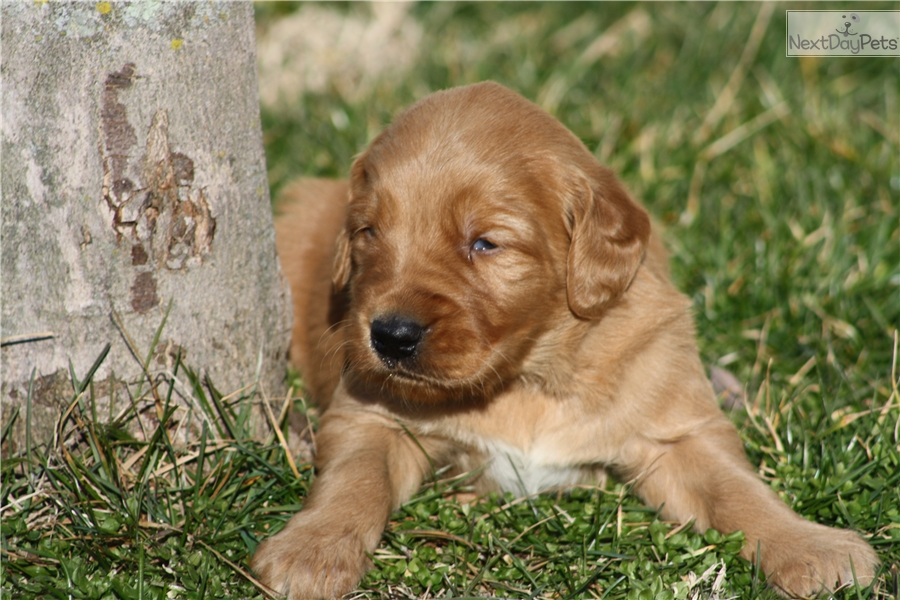 golden retriever puppies for sale in kentucky golden retriever puppy for sale near louisville kentucky 6472