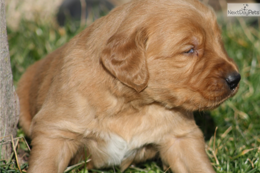 golden retriever puppies for sale in kentucky golden retriever puppy for sale near louisville kentucky 3335