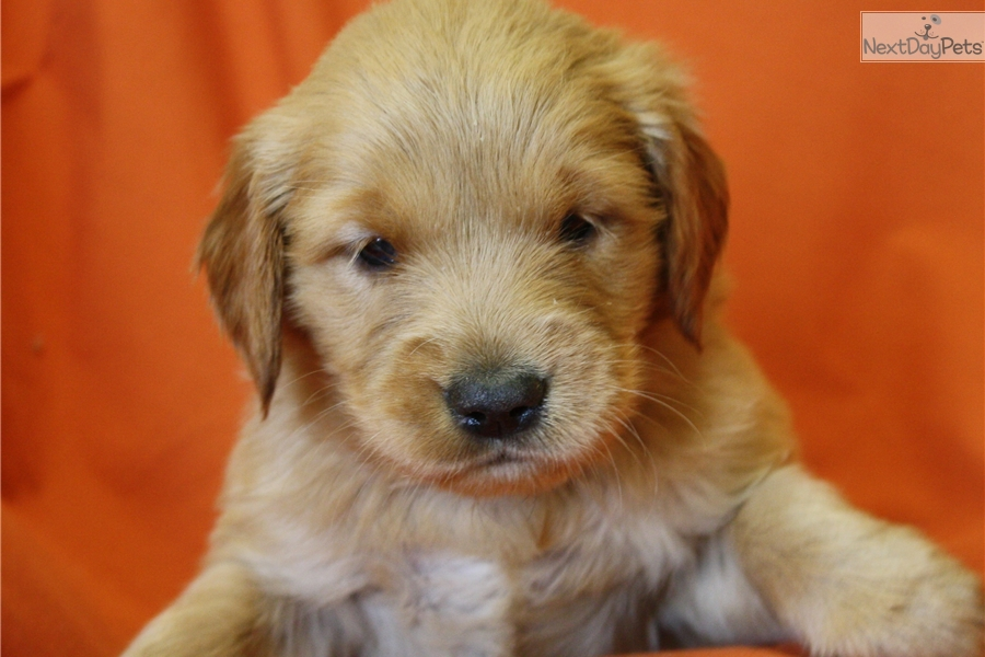 golden retriever puppies for sale in kentucky golden retriever puppy for sale near louisville kentucky 4868