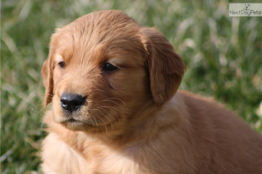 golden retriever puppies for sale in kentucky rue golden retriever puppy for sale near louisville 2894