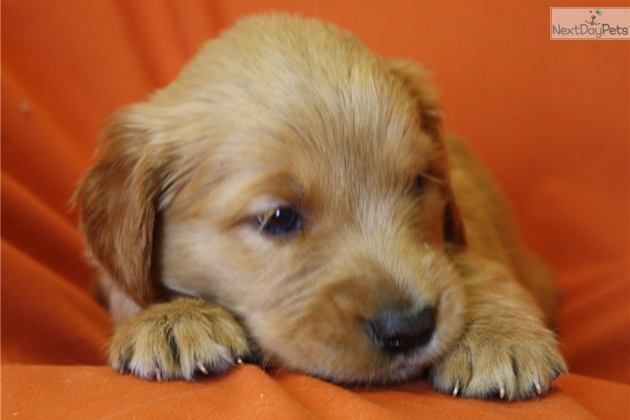 golden retriever puppies for sale in kentucky golden retriever puppy for sale near louisville kentucky 2343