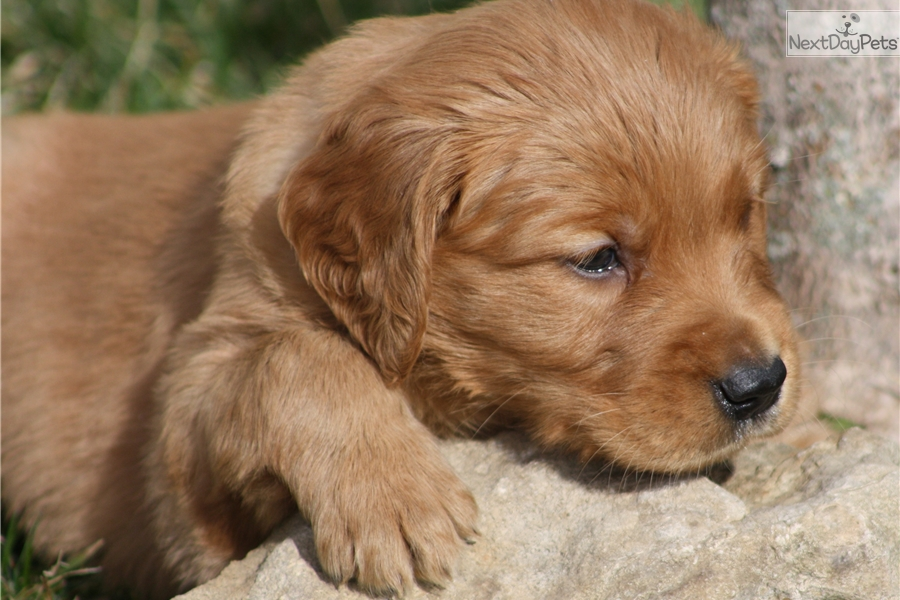 golden retriever puppies for sale in kentucky rue golden retriever puppy for sale near louisville 8124