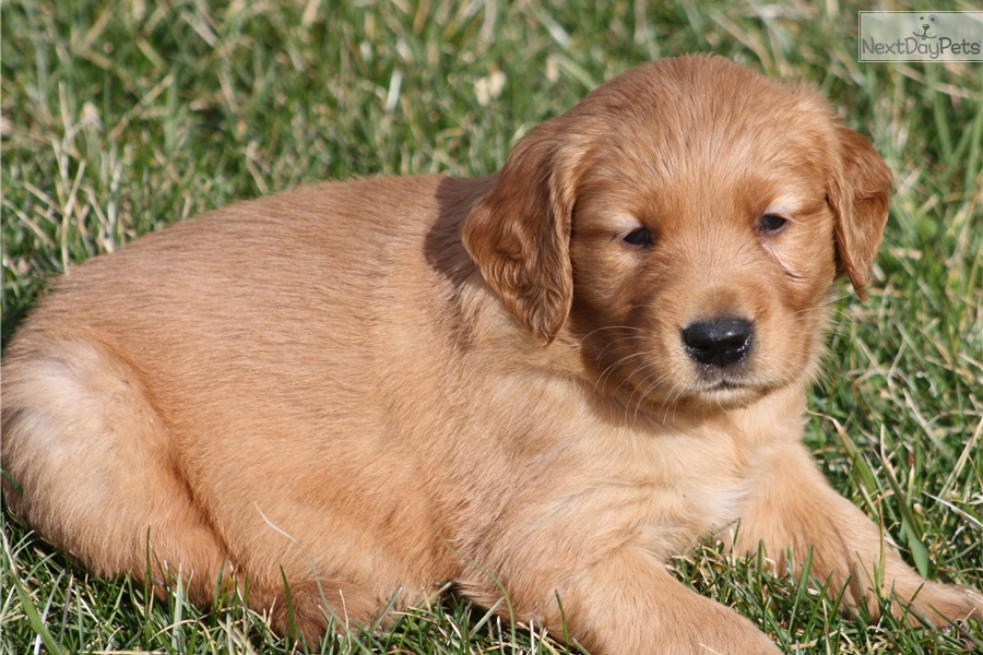 golden retriever puppies for sale in kentucky rue golden retriever puppy for sale near louisville 7281