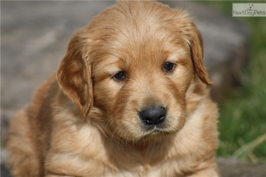 golden retriever puppies for sale in kentucky golden retriever puppy for sale near louisville kentucky 7752