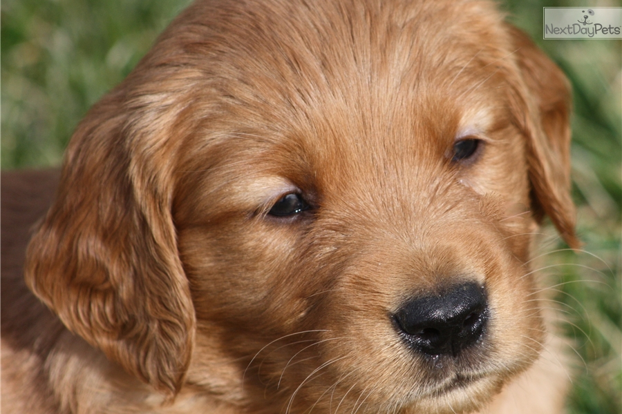 golden retriever puppies for sale in kentucky rue golden retriever puppy for sale near louisville 4020