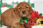 Picture of a Golden Irish Puppy