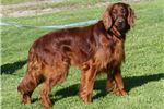Picture of Male Irish Setter in Madison, IN -Rehoming